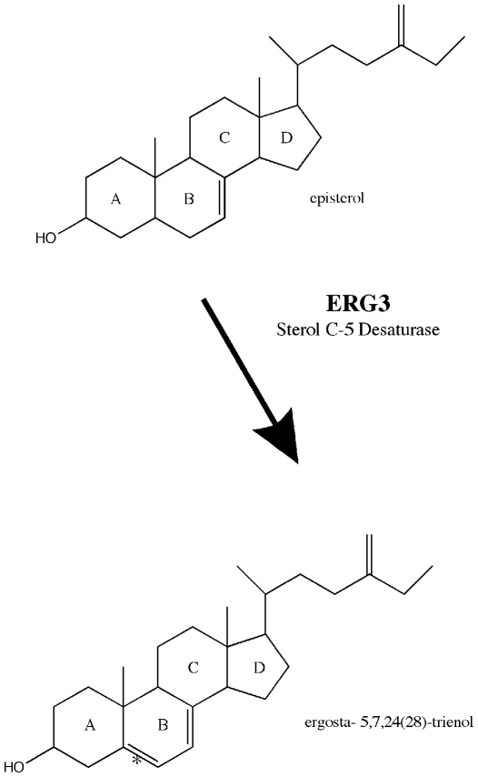 Erg3p is responsible for introducing a double bond at the