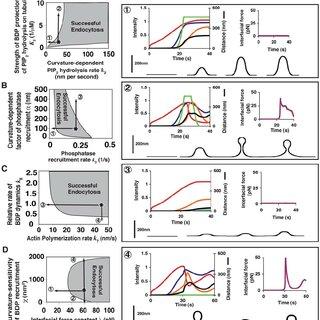 Schematics comparing endocytosis in yeast and mammalian