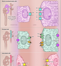 nephron remodeling as a mechanism of diuretic resistance when high doses of loop diuretics are [ 850 x 1182 Pixel ]