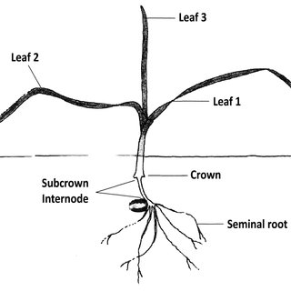 WHEAT GROWTH AND DEVELOPMENT STAGES ACCORDING TO THE