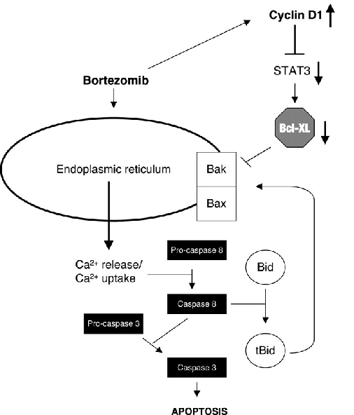Model for the interaction between bortezomib-induced