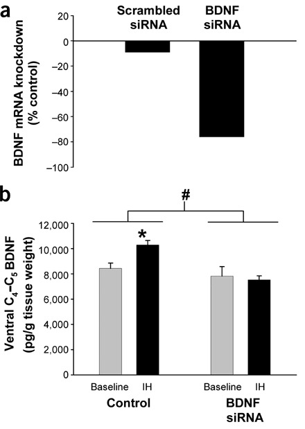 BDNF siRNA reduced BDNF mRNA in vitro as well as hypoxia