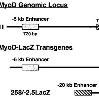 A schematic representation of developmental myogenesis. It