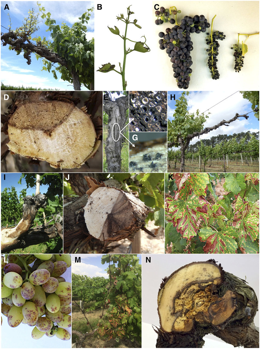 Symptoms Of Grapevine Trunk Diseases In Mature Plants