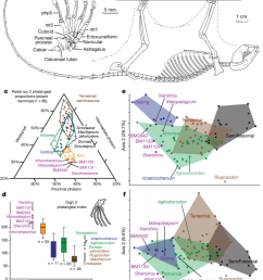 foot structure of eleutherodonts for gliding and roosting behaviours and limb skeletal morphometrics for [ 850 x 1106 Pixel ]