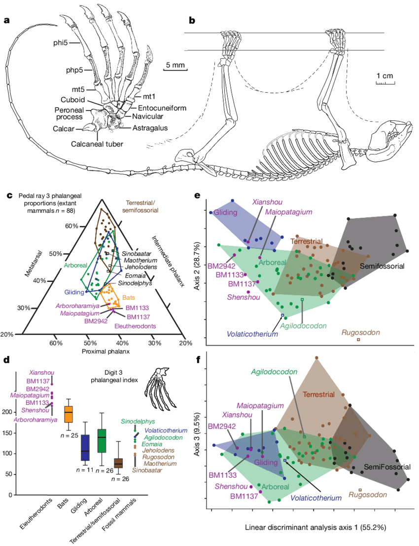 hight resolution of foot structure of eleutherodonts for gliding and roosting behaviours and limb skeletal morphometrics for