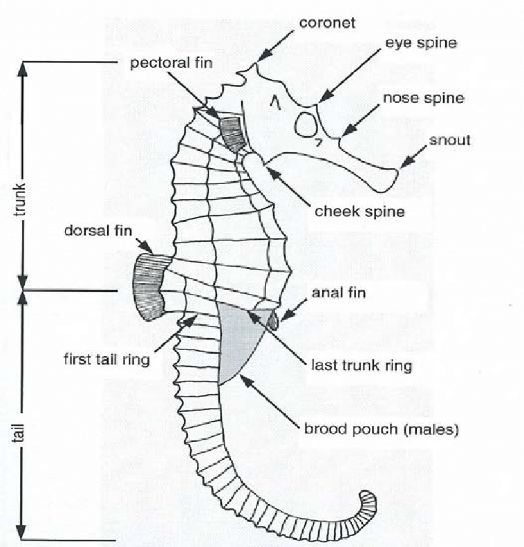 1. Morphology and measuring of seahorses (modified from
