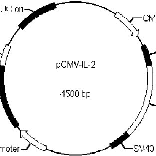 Structure of the plasmid pCMV-IL-2. pCMV-IL-2 contains a