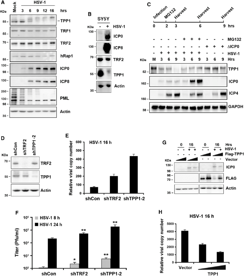 HSV-1 Infection Leads to TPP1 Degradation, and TPP1