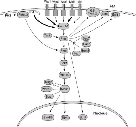 CWI signaling pathway. Signals are initiated at the plasma