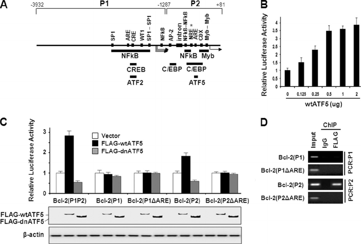 ATF5 binds and stimulates the BCL-2 P2 promoter in an ARE