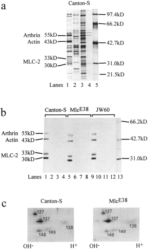 small resolution of mlc 2 protein analysis of dorsal longitudinal indirect flight muscle of download scientific diagram