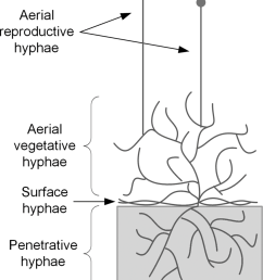 simplified diagram of the growth of filamentous fungi on solid substrates the different types of [ 850 x 1047 Pixel ]