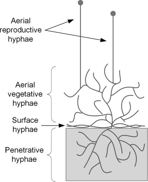 small resolution of simplified diagram of the growth of filamentous fungi on solid substrates the different types of
