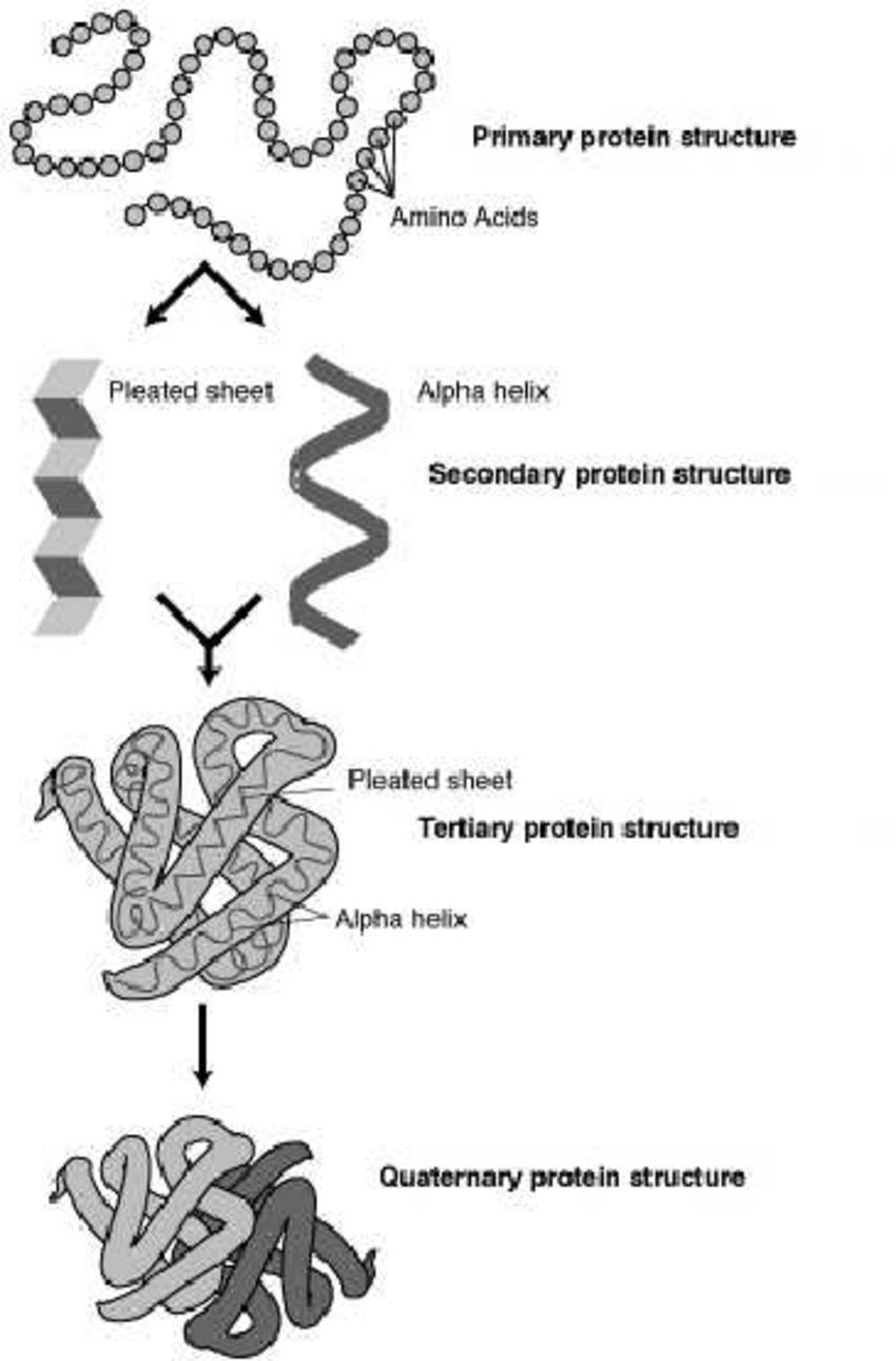 medium resolution of main protein structures