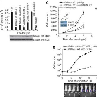 (PDF) Caspase 3-mediated stimulation of tumor cell
