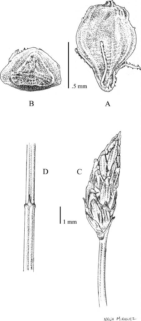Eleocharis gonzaleziae D. J. Rosen. —A. Achene (abaxial