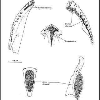 (PDF) El Sistema digestivo de peces óseos