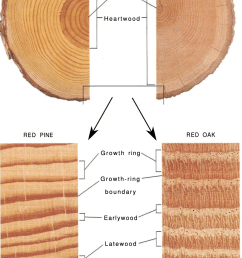 illustration of tree stem and annual growth rings closest to the pith download scientific diagram [ 837 x 1487 Pixel ]