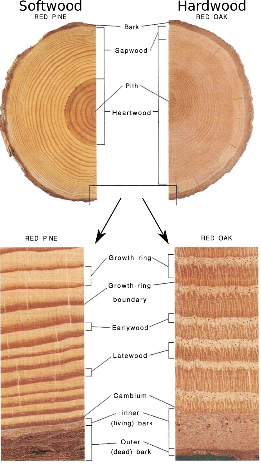 hight resolution of illustration of tree stem and annual growth rings closest to the pith download scientific diagram