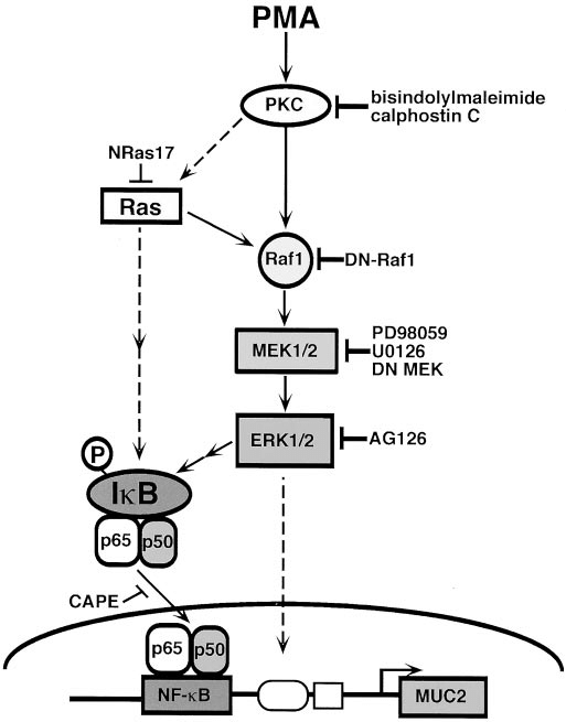 Schematic summary of signal transduction by PMA. Essential