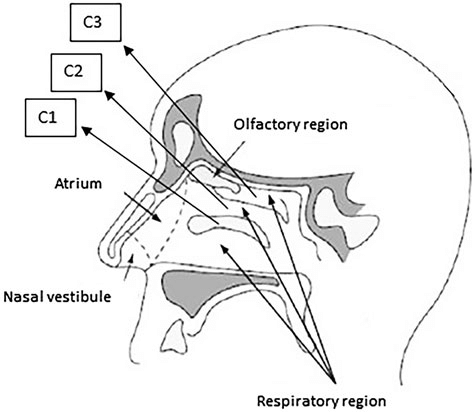 Anatomy and histology of human nasal cavity (C1: inferior