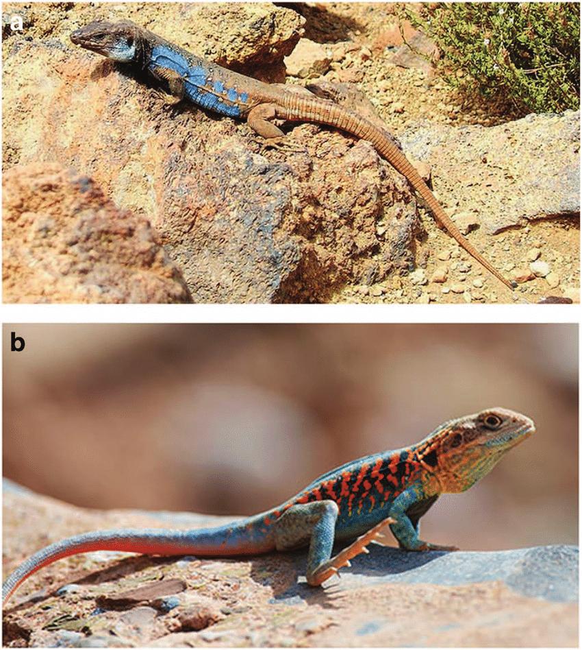 medium resolution of  a the gallotia galloti the tenerife wall lizard b ctenophorus download scientific diagram