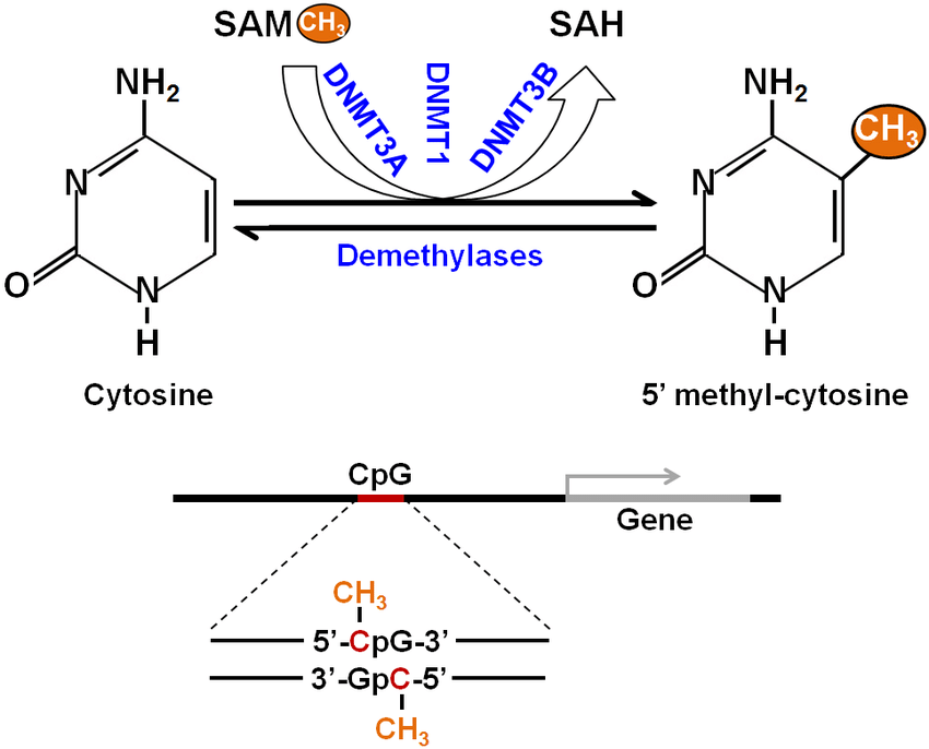 Schematic representation of DNA methylation. The process