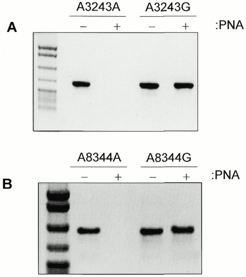 small resolution of pna clamping blocks wild type but not mutant molecule amplification