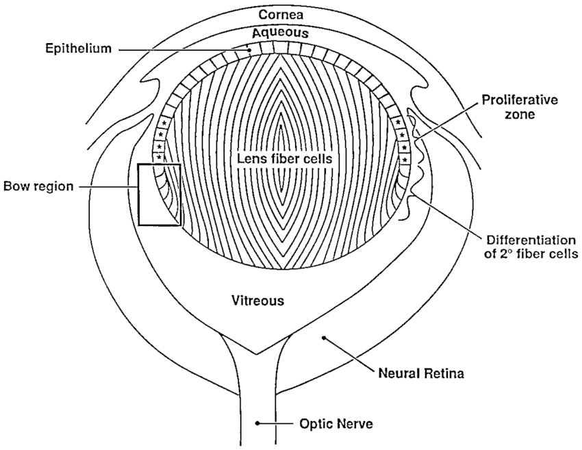 Schematic drawing of a midgestation mouse eye. Stars