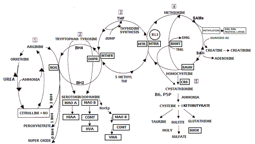 The Yasko Methylation Cycle: This figure shows the