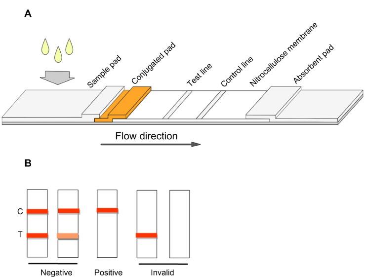 Schematic diagram of the immunochromatographic melamine