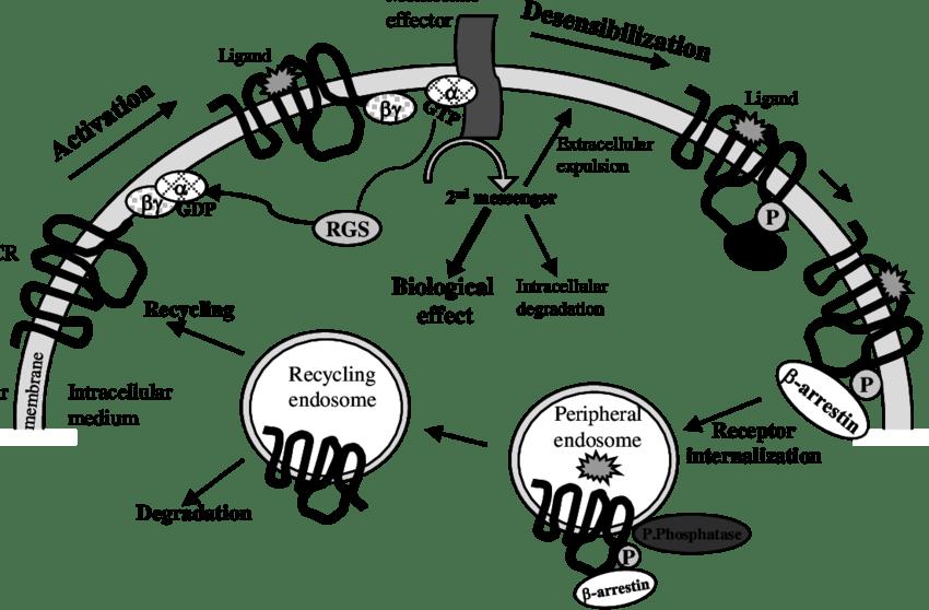 Phosphatidylinositol Pathway Gpcr. Cell Biology Final Exam