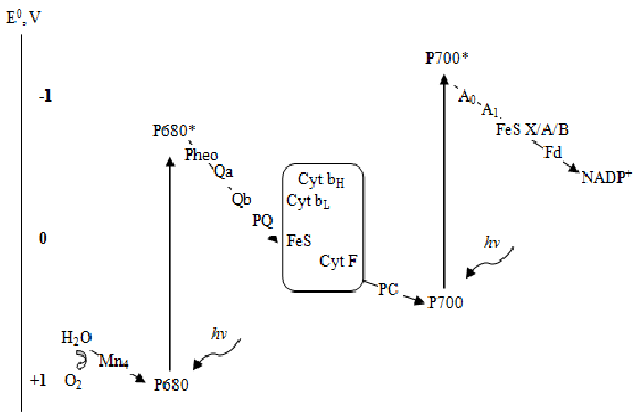 photosynthesis z scheme diagram voltmeter wiring for motorcycle 1 electron transfer in terms of redox potentials ke 2001