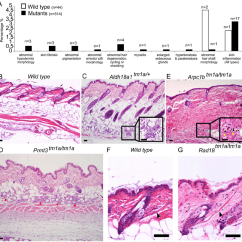 White Fat Cell Diagram B Wiring Skin Histopathology Overview. (a) The Dorsal Of 44 Wild Type Mice... | Download Scientific ...