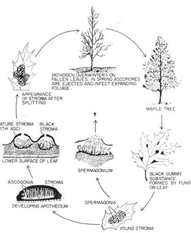 Life cycle of R. acerinum on a maple tree (Sharon & Riffle