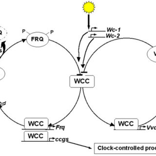 Interlocked molecular feedback loops in Drosophila