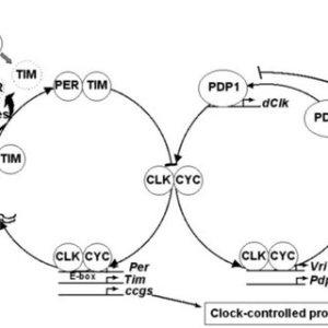 Interlocked molecular feedback loops in Drosophila melanogaster | Download Scientific Diagram