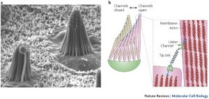 Mechanotransduction in hair cellsa | A scanning electron