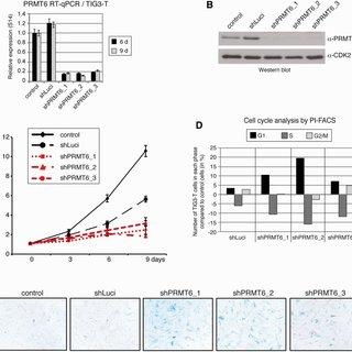 (PDF) The arginine methyltransferase PRMT6 regulates cell