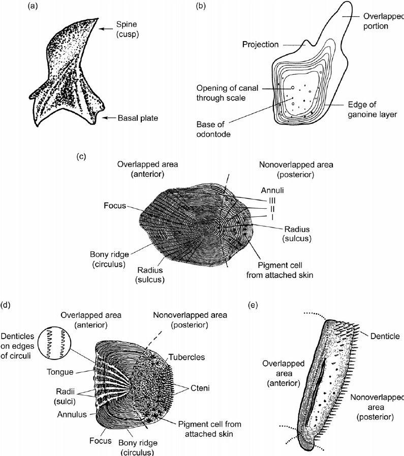Individual fish scales showing some morphological features