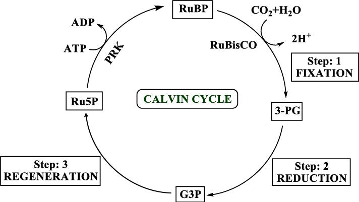 Calvin Cycle Easy Diagram