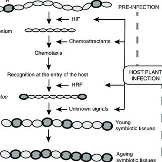 Schematic representation of actinorhizal root infection by
