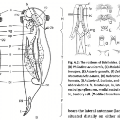 Rotifer Diagram Labeled Coleman Mobile Home Electric Furnace Wiring 1 Scheme Of The Anatomy A Dorsal And B Lateral Abbreviations H Head T Trunk F Foot Brain Bl Bladder C Corona Co