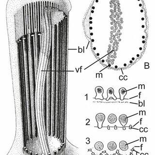 53: Bdelloidea. (A) Adineta vaga , (B) Bradyscela clauda