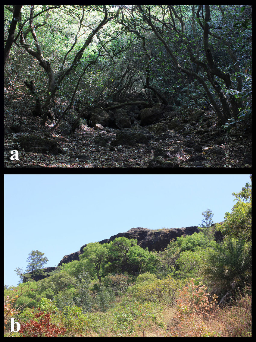 medium resolution of  a dense evergreen forest of mahabaleshwar b showing wall of lateritic