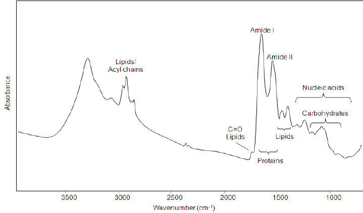FTIR absorption spectrum of a single intact murine oocyte