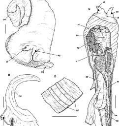 a head foot mass in dorsal view b download scientific diagram [ 850 x 972 Pixel ]