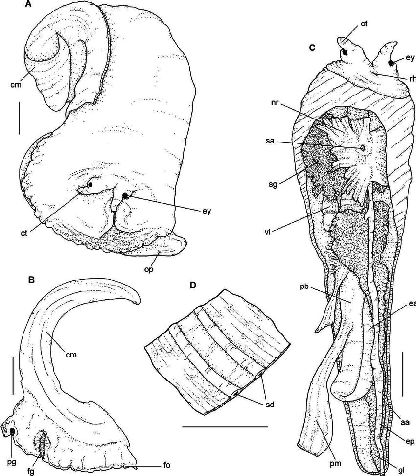 medium resolution of a head foot mass in dorsal view b download scientific diagram