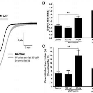 Wortmannin treatment leads to a decrease in ATP-induced